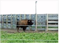 A lone bison strays from the herd