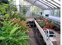 Ferns, begonias, and geraniums, inside for the winter
