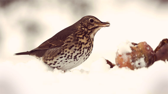 Song thrush in snow with apples