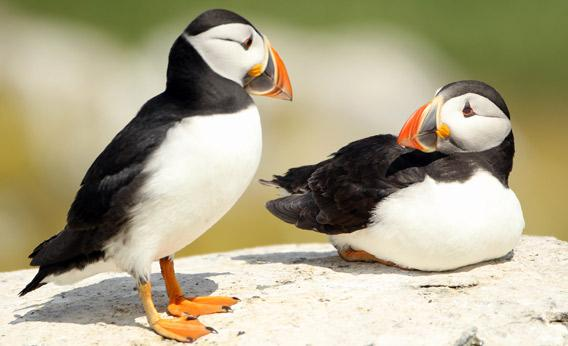 Puffins stands on a cliff top in Inner Farne, England