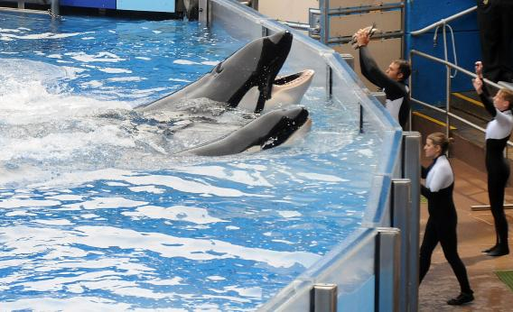 Killer whale 'Tilikum' and his new trainers.