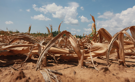 Corn plants dry in a drought-stricken farm field on July 16, 2012 near Shawneetown, Illinois.