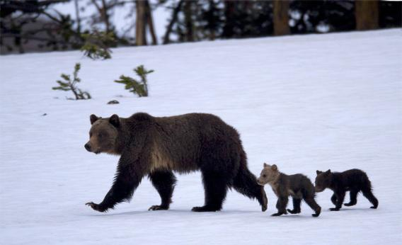 The Wapiti grizzly sow with her cubs in June, 2011