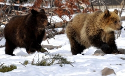 The Wapiti sow's cubs, Roosevelt and Grant.