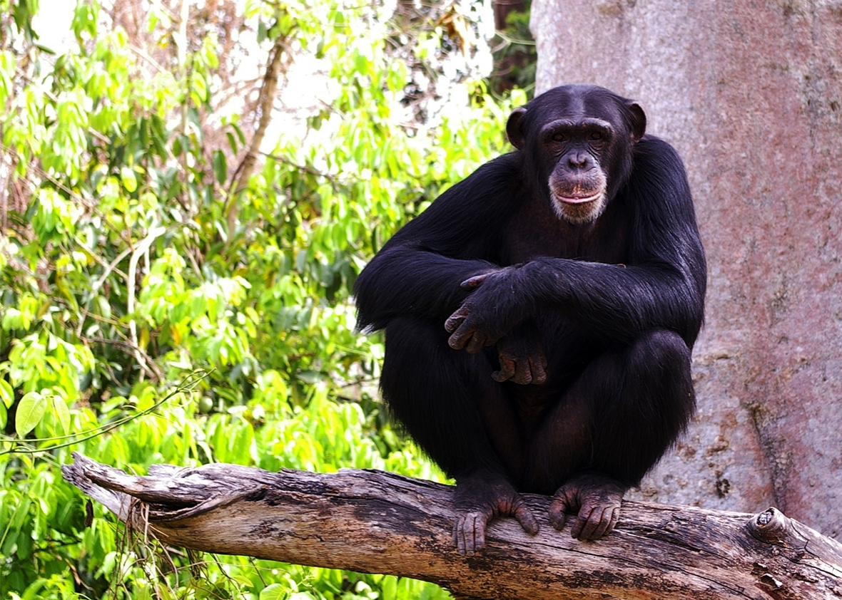 an introduction to the analysis of behaviors of chimpanzees Journal of the experimental analysis of behavior, vol 106, issue  (1980) introduction to perception harper & row beach  arithmetic behavior in chimpanzees.