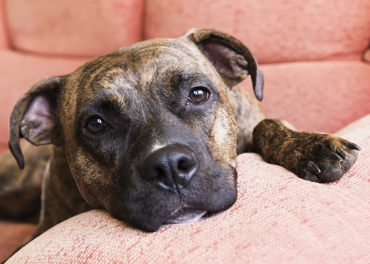 pit bull being banned Fitness + well-being style + beauty  adds pit bulls to list of banned service and support animals after two employees bitten  pit bull-type dogs posing as both service and support animals.