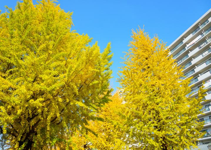 Why We Still Plant Smelly Ginkgo Trees