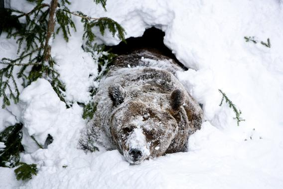 Palle-Jooseppi, a male brown bear of Ranua Zoo, wakes up after winter hibernation in Ranua on February 23, 2012.