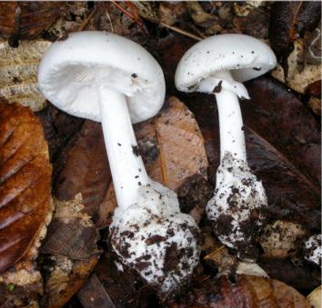 Amanita phalloides var alba. This pure white variety of death cap resembles many edible species, especially when young.
