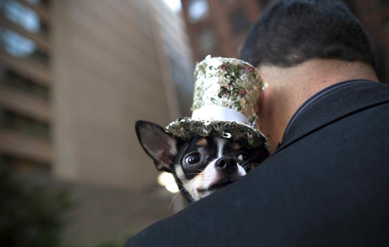 "Bogie the Chihuahua peers over his owner Anthony Rubio's shoulder as he awaits his turn at the ""Furry Friends on the Runway"" doggie fashion event at the Ritz Plaza Park in New York, Sept. 5, 2012."