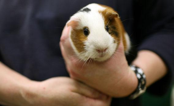 "How did guinea pigs become the ""guinea pigs""?"