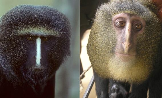 Two captive adult male Cercopithecus hamlyni.
