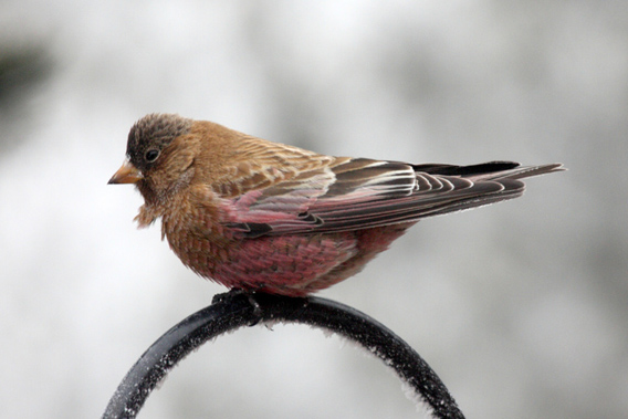 Brown-capped Rosy-finch.