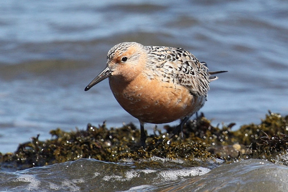 Red Knot.
