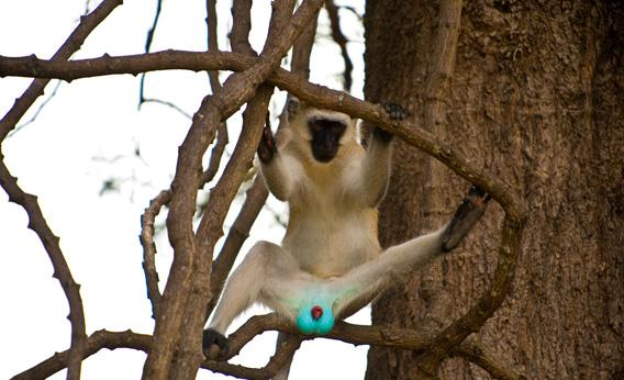 Male Vervet Monkeys Have A Neon Blue Scrotum Awwducational