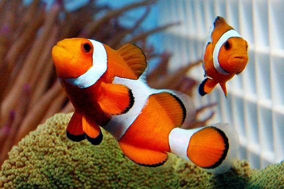 article relating to clownfish