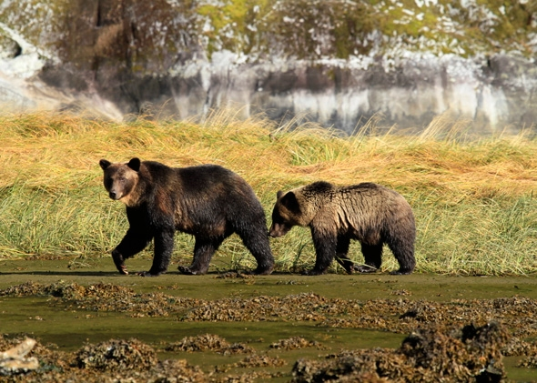 A mother grizzly bear walks along a British Columbia beach with her cub.