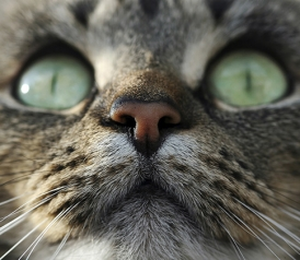 Why It's So Hard to Study Cat Intelligence