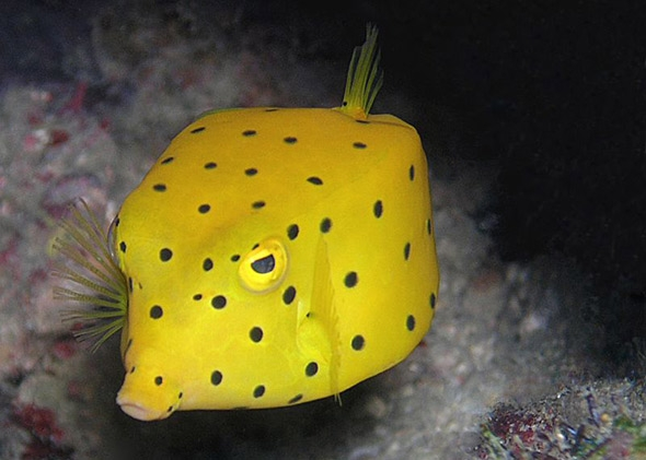 http://www.slate.com/content/dam/slate/articles/health_and_science/science/2015/03/150310_SCI_Boxfish_fish.jpg.CROP.promo-mediumlarge.jpg