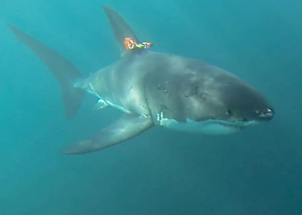 why do great white sharks converge on a mysterious point in the
