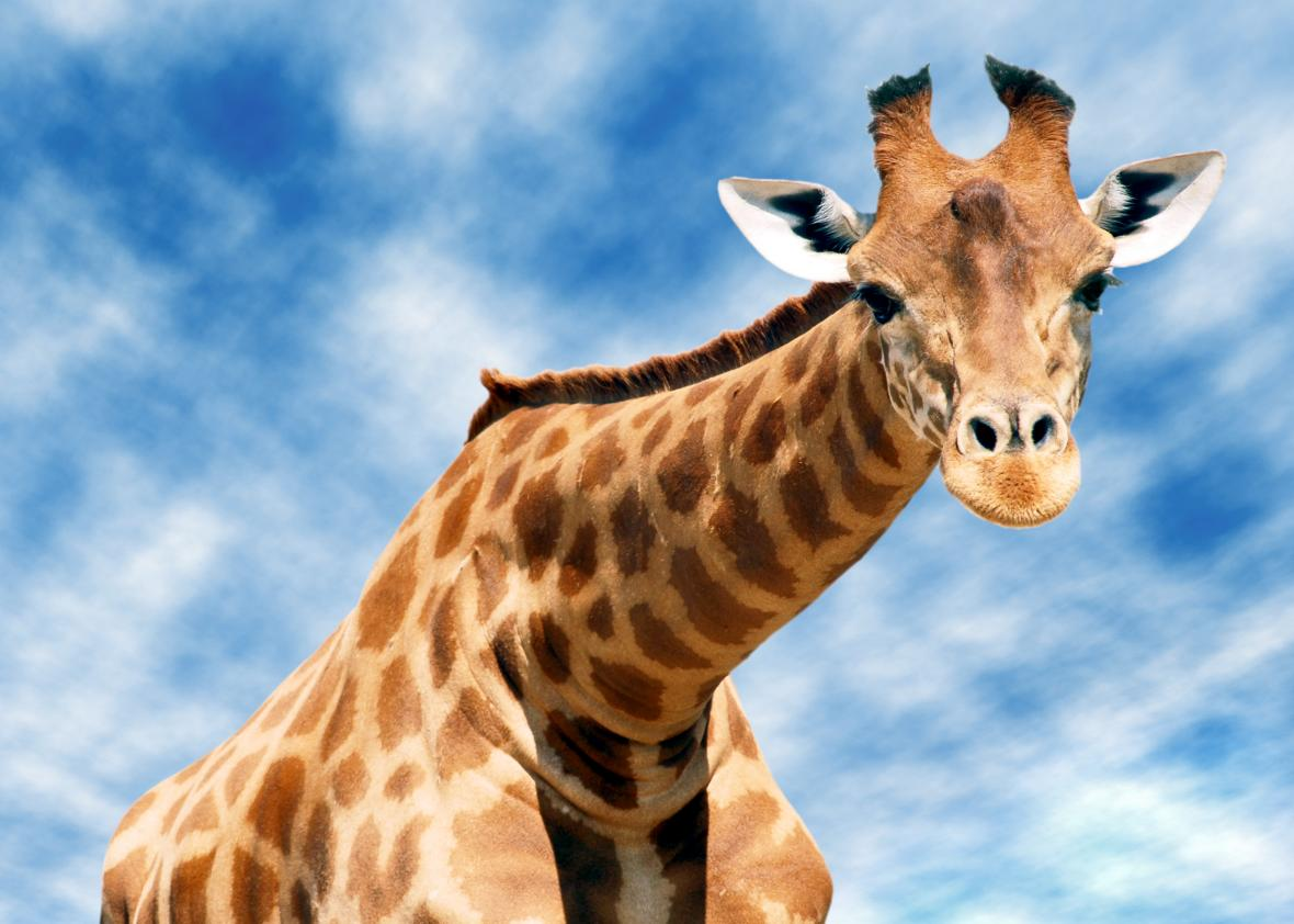 Genetic analysis reveals that giraffes are in fact four distinct