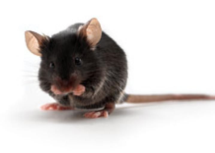 Black 6 Lab Mice And The History Of Biomedical Research