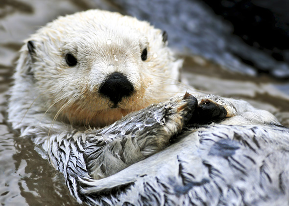 Artic Sea Otter