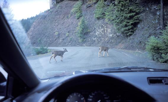 Deer crossing the road in front of a car.