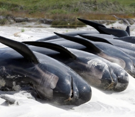 Beached Whales In New Zealand Do Animals Commit Suicide