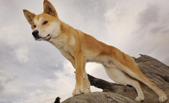 A Dingo stands in an enclosure at the Dingo Discovery and Research Centre at the Toolern Vale in rural Victoria.