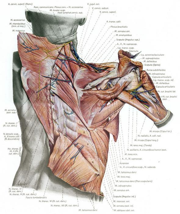 Blood vessels, nerves and muscles of the scapular region from behind, illustration from the Atlas of Topographical and Applied Human Anatomy.