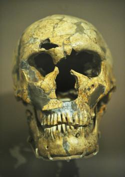 The skull of  the Homo Neanderthalensis known as La Ferrassie 1 from the La Ferrassie Rock Shelter, France.