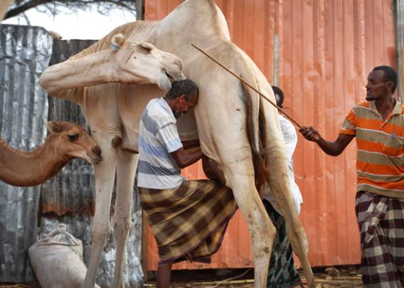 Workers milk a camel at an enclosure at the Beder Milk and Meat Production Farm Company premises on the outskirts of Somalia's capital Mogadishu.