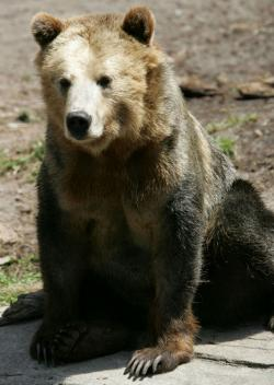 A grizzly bear.