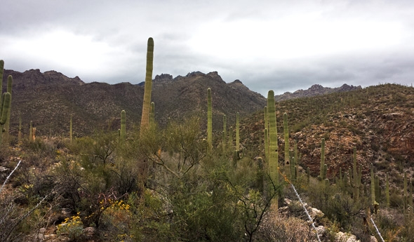 Saguaro cactuses stand guard over Sabino Canyon near Tucson, Arizona in the midst of a rare winter rainstorm.