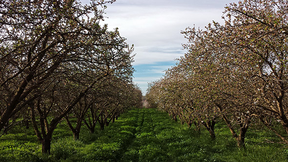 This almond orchard is being grown in a desert.
