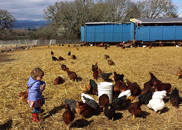 Joshua Simonson's daughter helps him finish his daily chores of feeding his hundreds of free-range chickens, whose eggs and meat are bound for Portland restaurants and farmers markets.