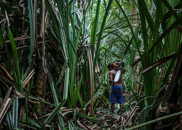 An illegal logger carries a chainsaw at Kerumutan protected tropical rainforest in Indonesia.
