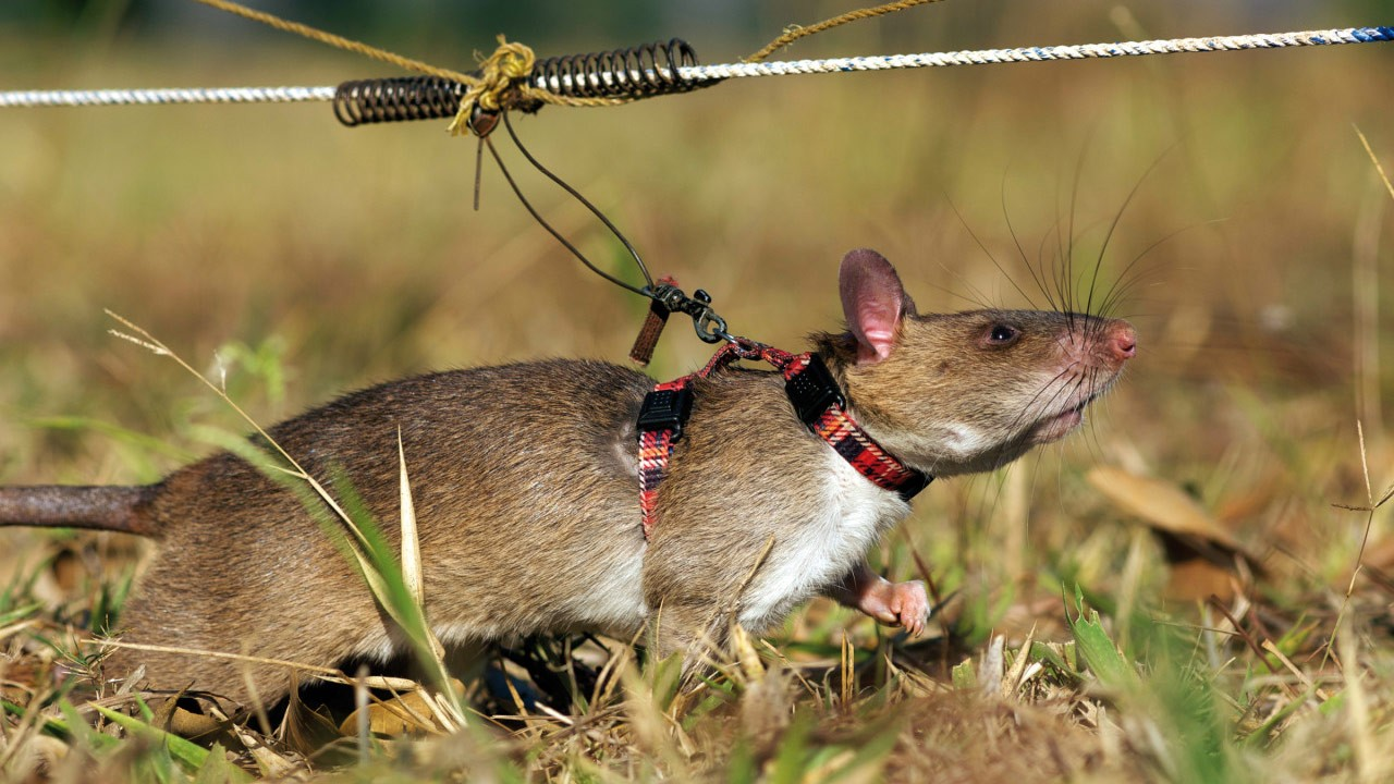 Rats landmines: Trained rodents seek out bombs in Africa ...