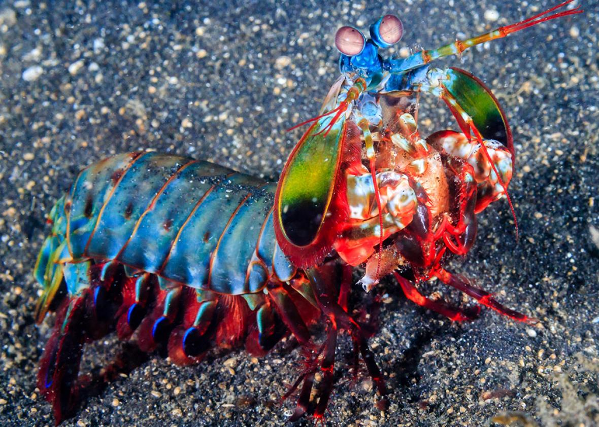 Mantis shrimp was brutal fighters, as this footage shows.