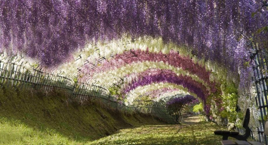 Japan Flower Tunnel Tunnel of Wisteria Flowers
