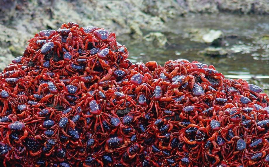 Each October at Christmas Island, Millions of Red Crabs