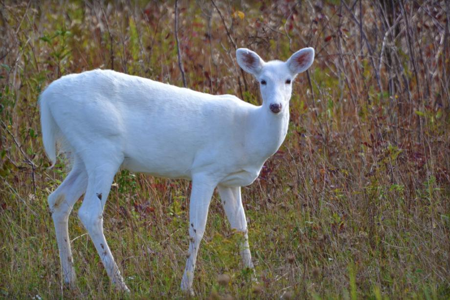 Biggest Albino Deer In The World White-deer