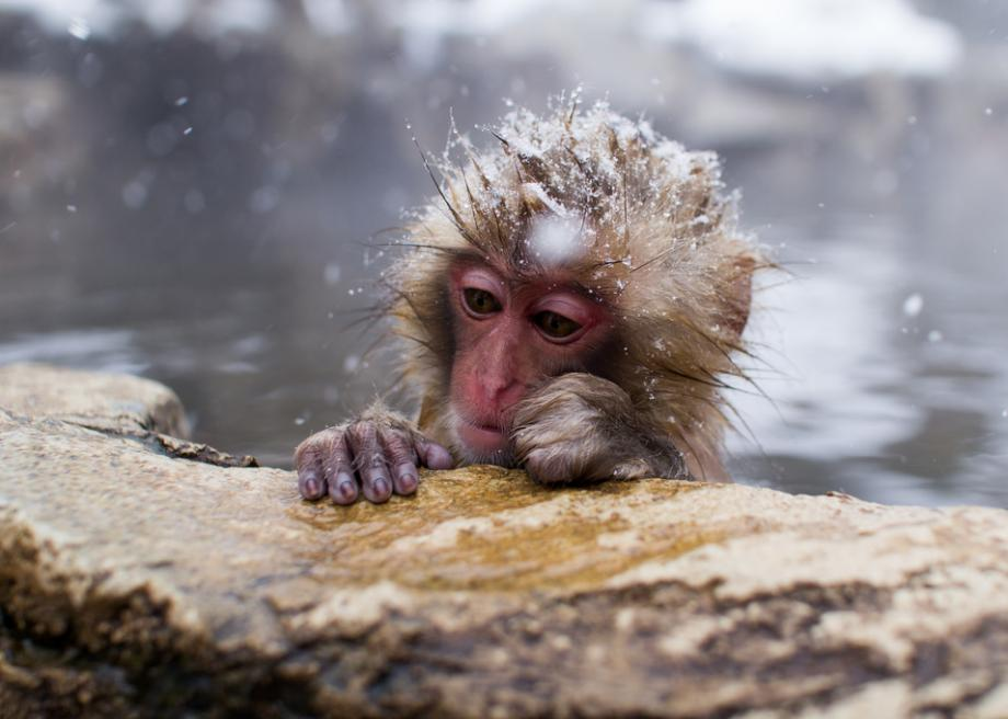 jigokudani park in japan has a thermal spa for snow monkeys
