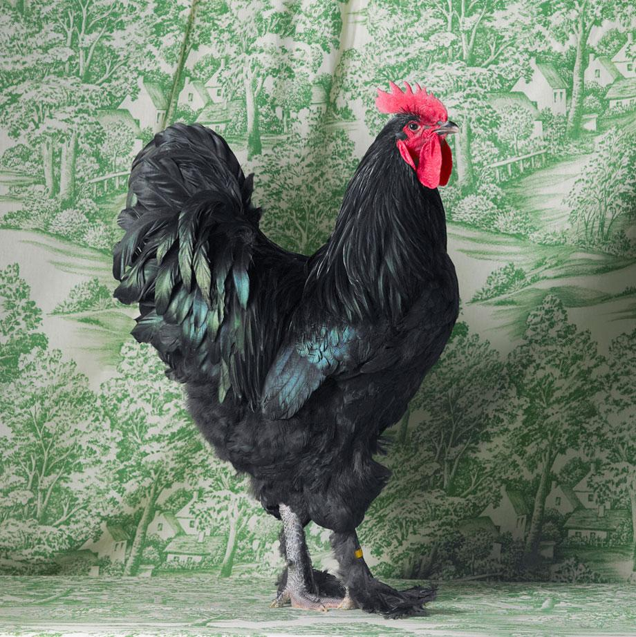 Tamara Staples The Magnificent Chicken Black Langshan Cockerel