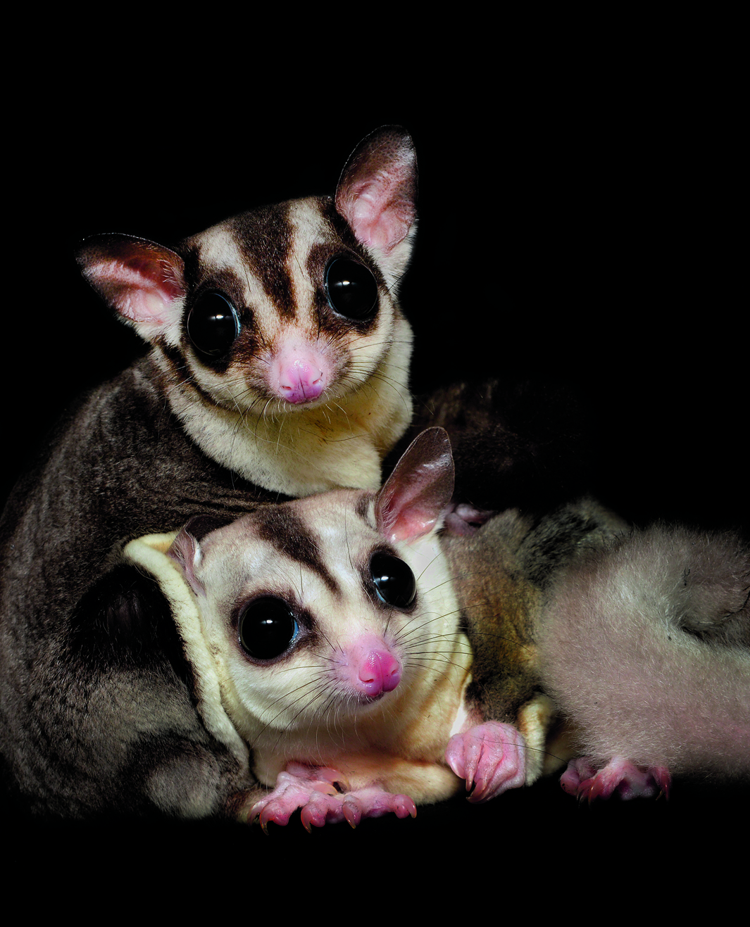 book report of sugar glider Sugar glider slave search this you will learn more during that year than you ever would reading online or studying some book sugar gliders will naturally.