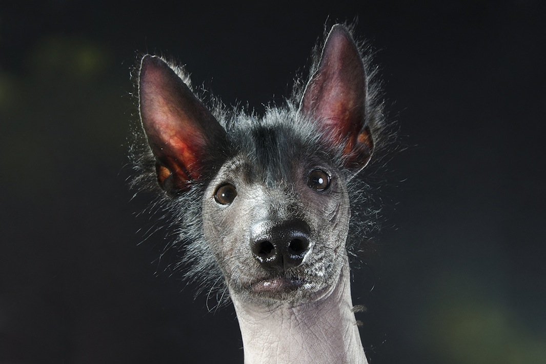 Sophie Gamand Photographs Hairless Dogs In Her Series Prophecy