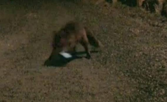 fox grabs smartphone