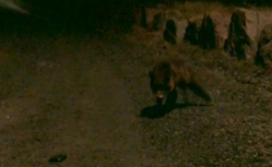 fox stalking smartphone2