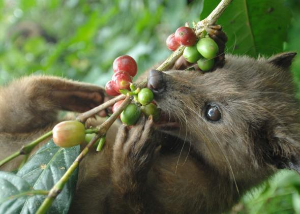 103011007-wild-civet-eats-ripe-arabika-coffee-fruits-at-a-coffee